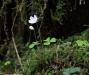 Waldsauerkleeblüte